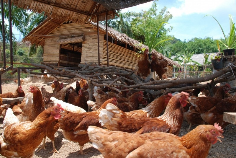 Backyard Producers Affect Bird Flu Transmission