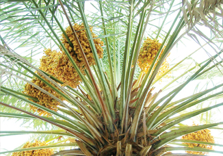 UAE date palm tree owners to receive cash for palm waste